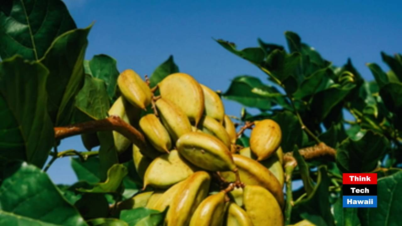 Tomorrow's Biofuels Grown in Hawaii – TerViva – The Power of Pongamia