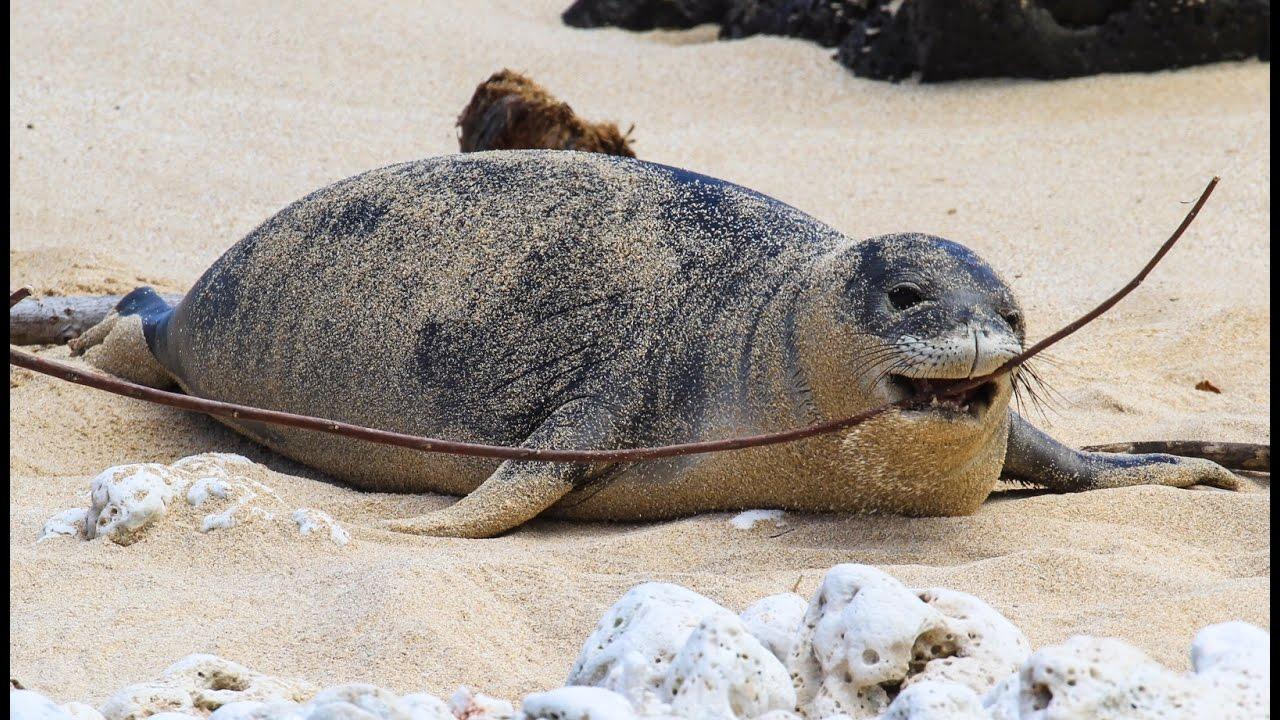 Hawaiian Monk Seal Advocacy – Protecting Endangered Animals