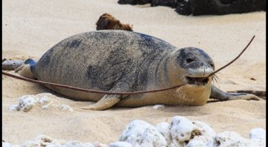 Hawaiian-Monk-Seal-Advocacy-Protecting-Endangered-Animals-attachment